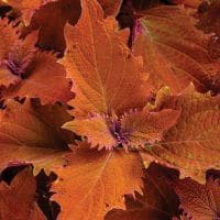 coleus-colorblaze-wicked-hot