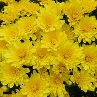 hm-morgana-yellow