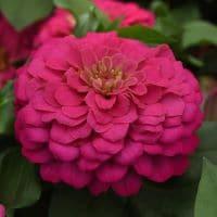 zinnia-zesty-pink