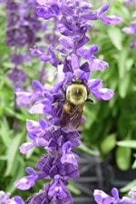 bee in the salvia