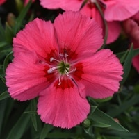 Corona Salmon Red Eye Dianthus Color Code: 1915c PAS Kieft 2019, ##4842 Bloom, Seed 06.13.17 Venhuizen, Mark Widhalm CoronaSalmonRedEye_02.JPG DIA17-23074.JPG