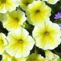 Petunia Bee's Knees