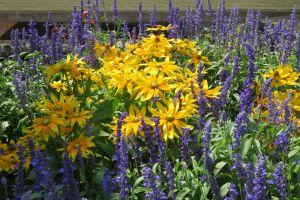 Rudbeckia and Salvia